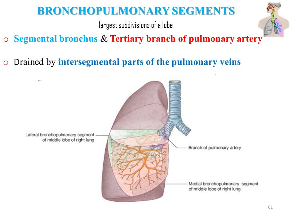 ANATOMY OF THE RESPIRATORY SYSTEM Kaan Yücel M.D., Ph.D. - ppt video ...