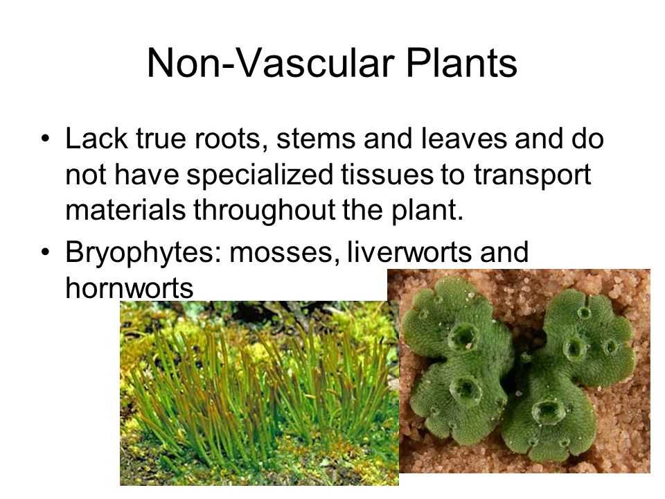 Non-Vascular Plants Lack true roots, stems and leaves and do not have specialized tissues to transport materials throughout the plant.