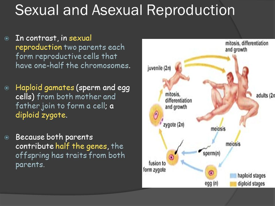 Significance of mitosis in asexual reproduction the offspring
