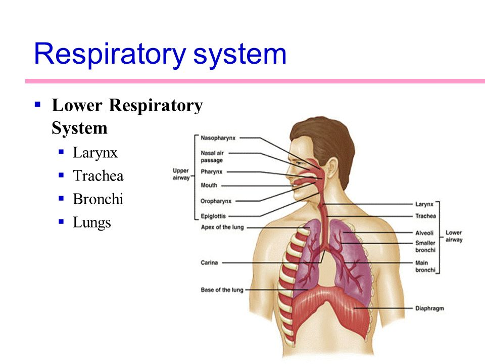 laboratory exercise 45 respiratory organs