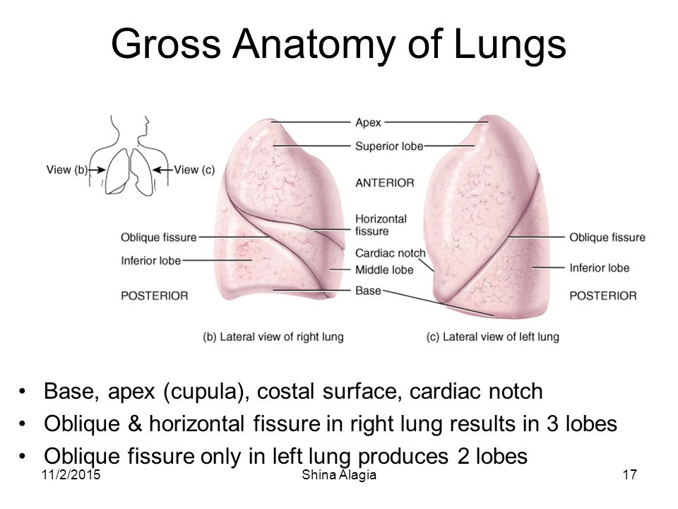 Famous Anatomy Of The Lung Lobes Images - Anatomy And Physiology ...