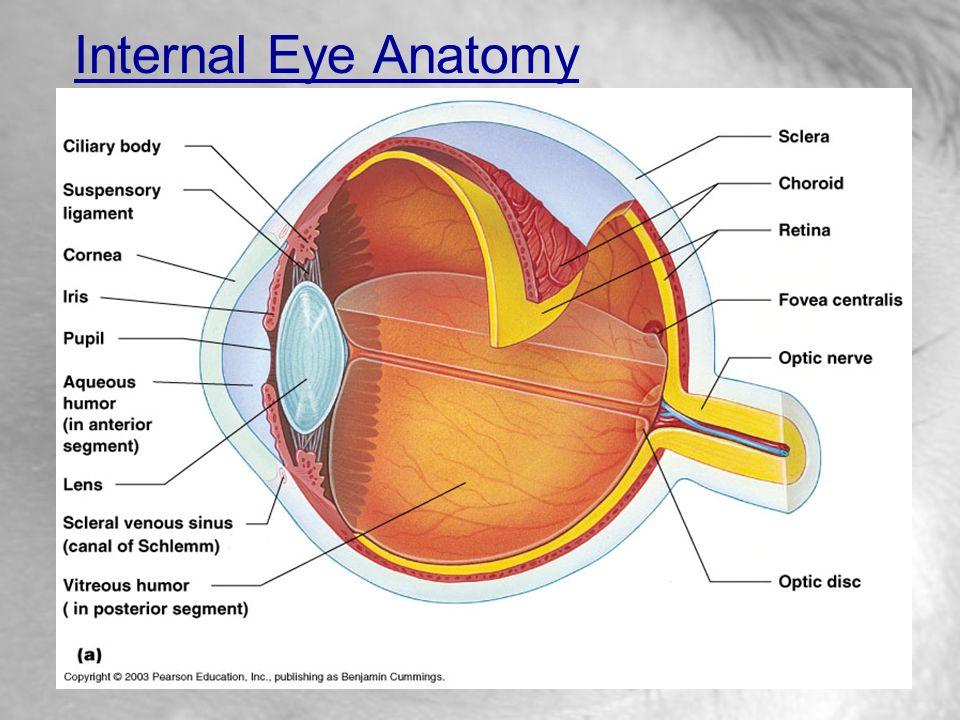 Special Senses: Vision - ppt video online download