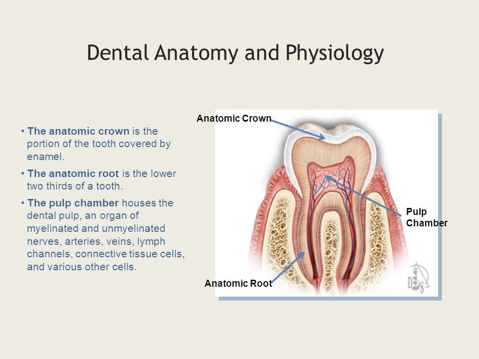 Ungewöhnlich Mouth Teeth Anatomy Fotos - Menschliche Anatomie Bilder ...