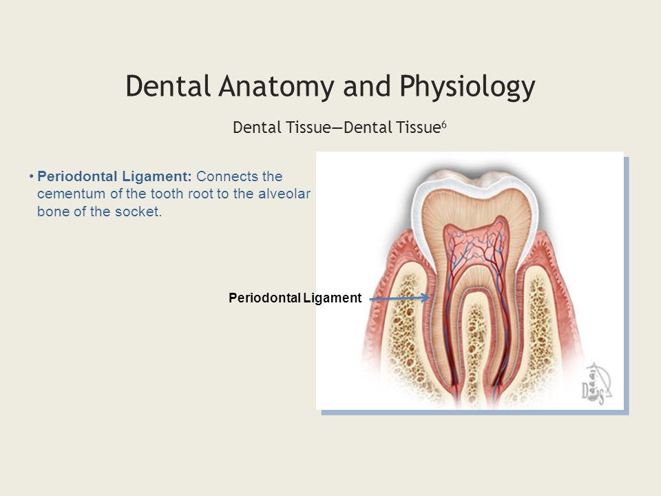Enchanting Dental Pulp Anatomy Image Human Anatomy Images
