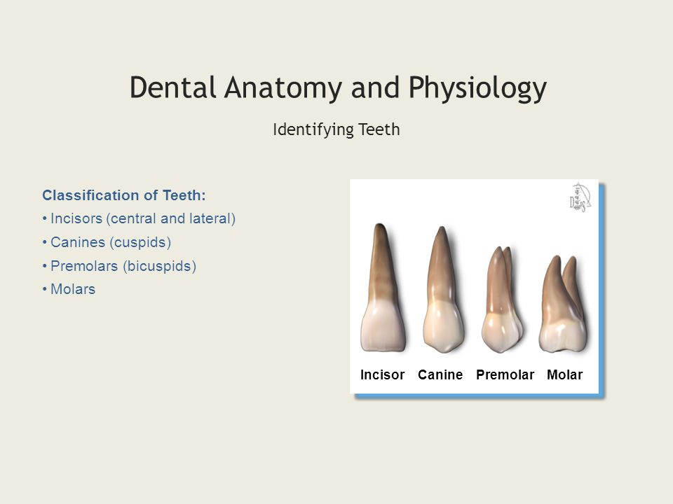 DENTAL ANATOMY & PHYSIOLOGY - ppt video online download