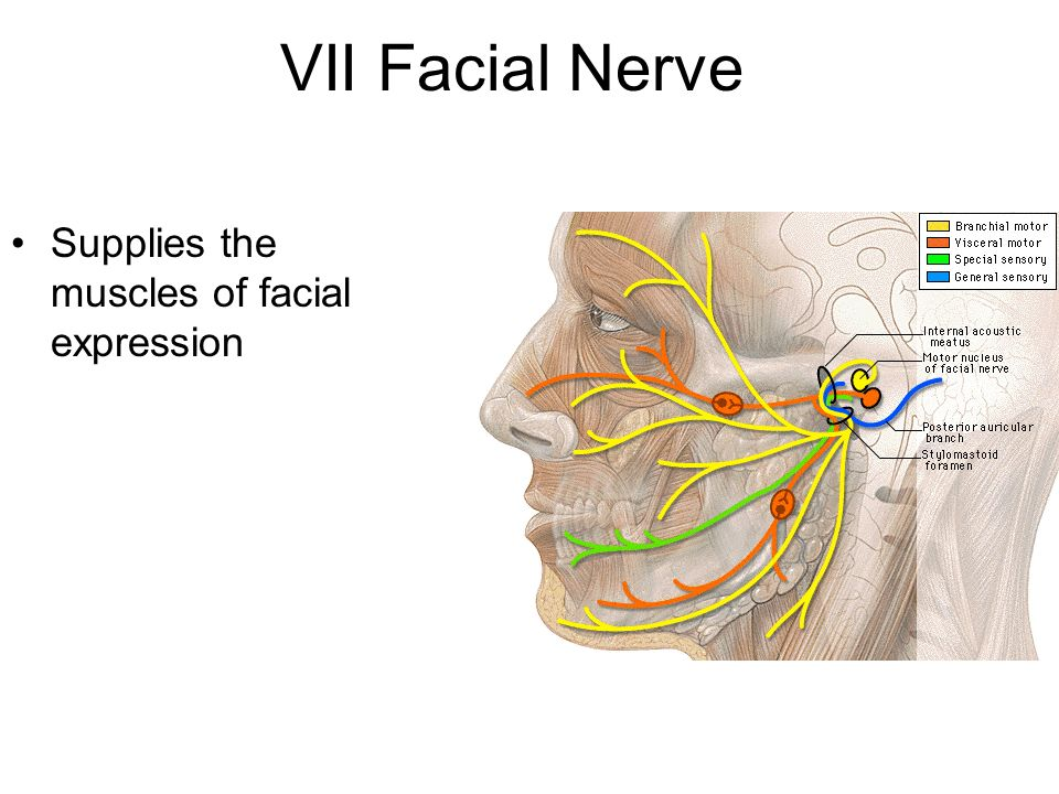 stories-diagram-picture-facial-nerves-twink-old-stud