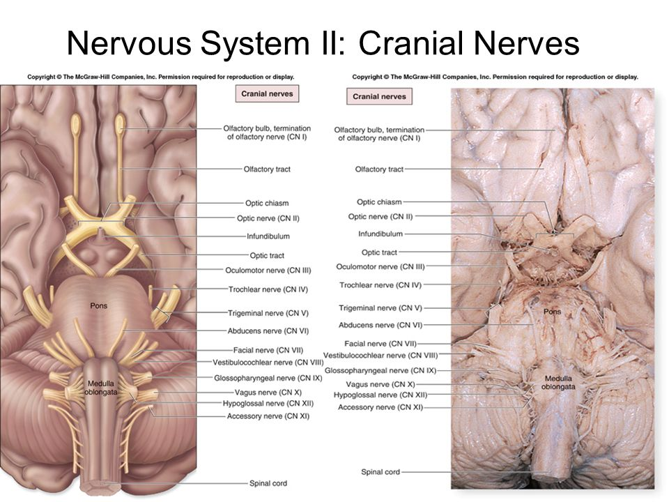 Mixed Cranial Nerves Ppt Video Online Download