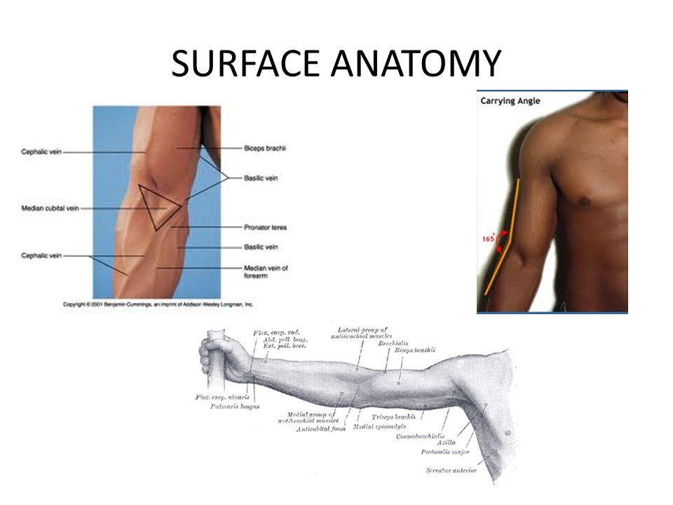 HUMEROULNAR JOINT (COMMONLY KNOWN AS THE ELBOW JOINT) - ppt video ...