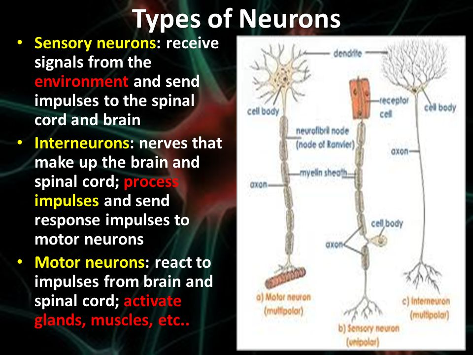 the nervous outfielder essay Get help on 【 the nervous system essay 】 on graduateway ✅ huge assortment of free essays & assignments ✅ the best writers the nervous system is the organ system in the human body that is responsible for bodily functions such as muscle mechanisms, reception of stimuli and nerve impulse.