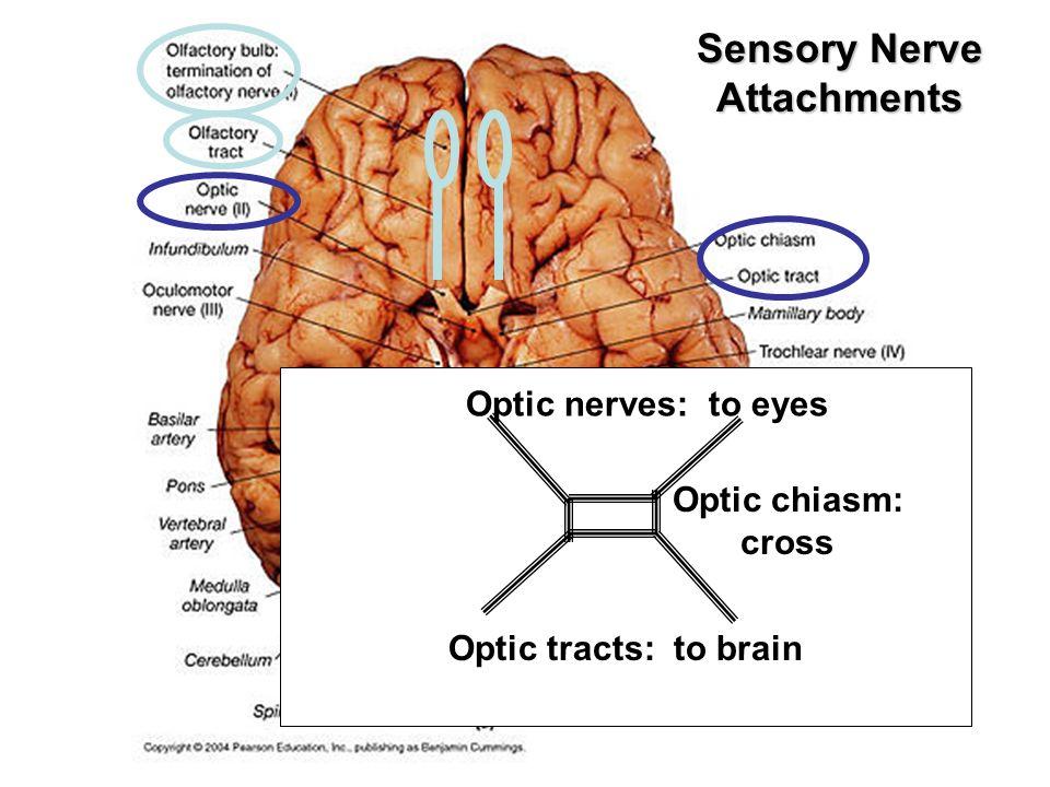 Beautiful Exercise 19 Gross Anatomy Of The Brain Elaboration ...