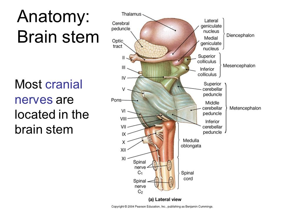 Cranial Nerves Brain Dissection Ppt Video Online Download
