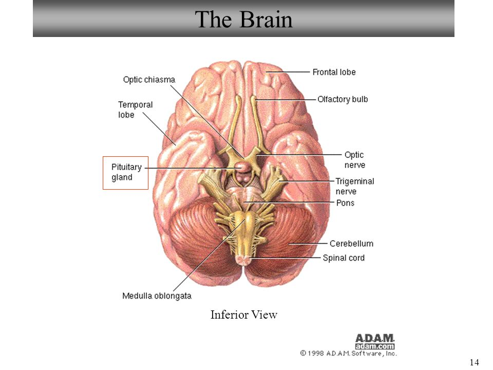 Bio211 laboratories 8 9 braincranial nerves spinal cord sheep 14 the brain inferior view ccuart Image collections
