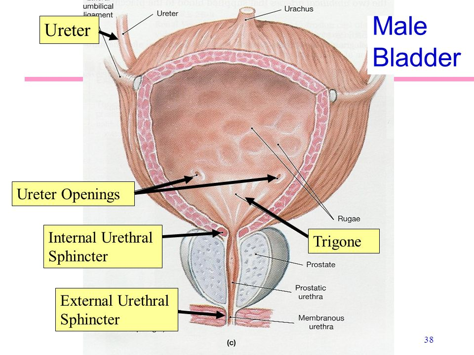 External Urethral Sphincter Female Diagram Electrical Work Wiring