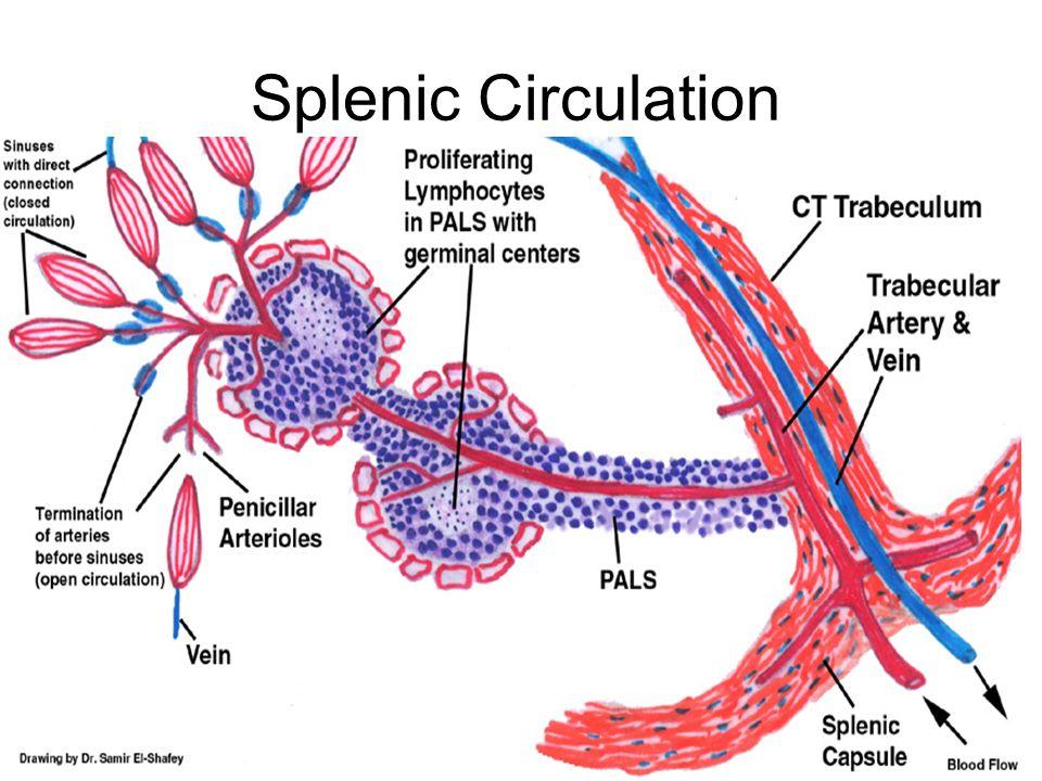 Spleen Blood Circulation Diagram - Block And Schematic Diagrams •
