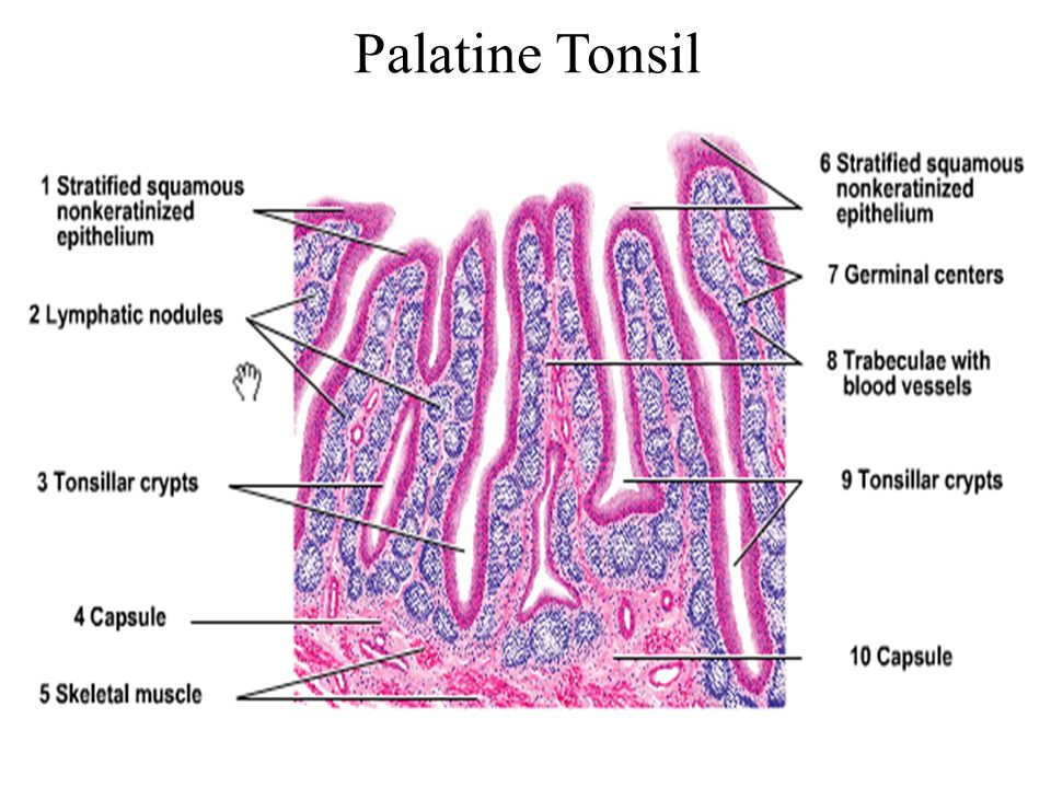 Microscopic Structure Of Lymph Node Spleen Thymus And Tonsil Ppt