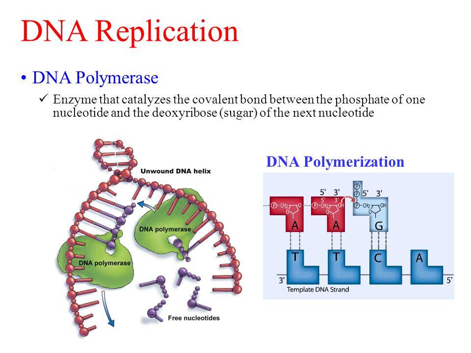 3 dna replication dna polymerase dna polymerization