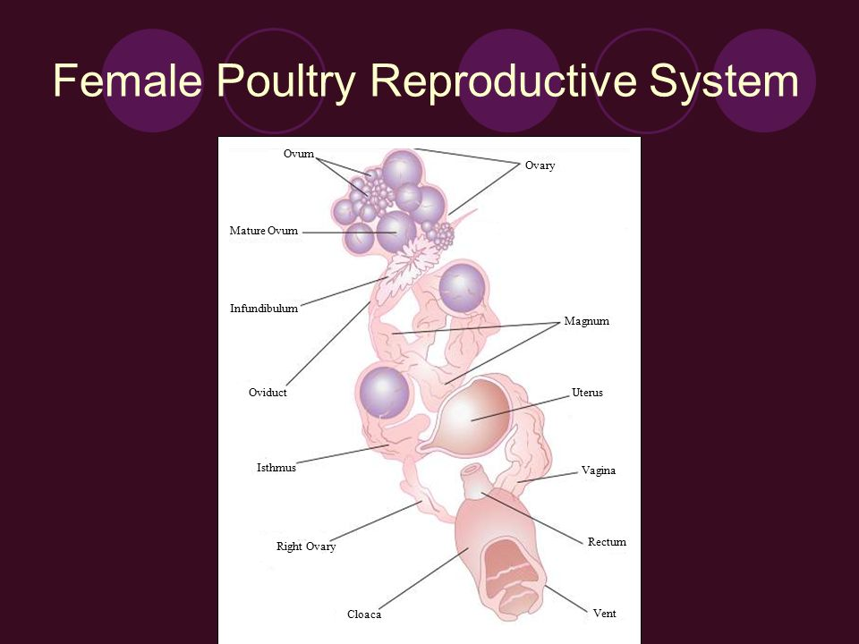 Reproduction ppt video online download female poultry reproductive system ccuart Choice Image