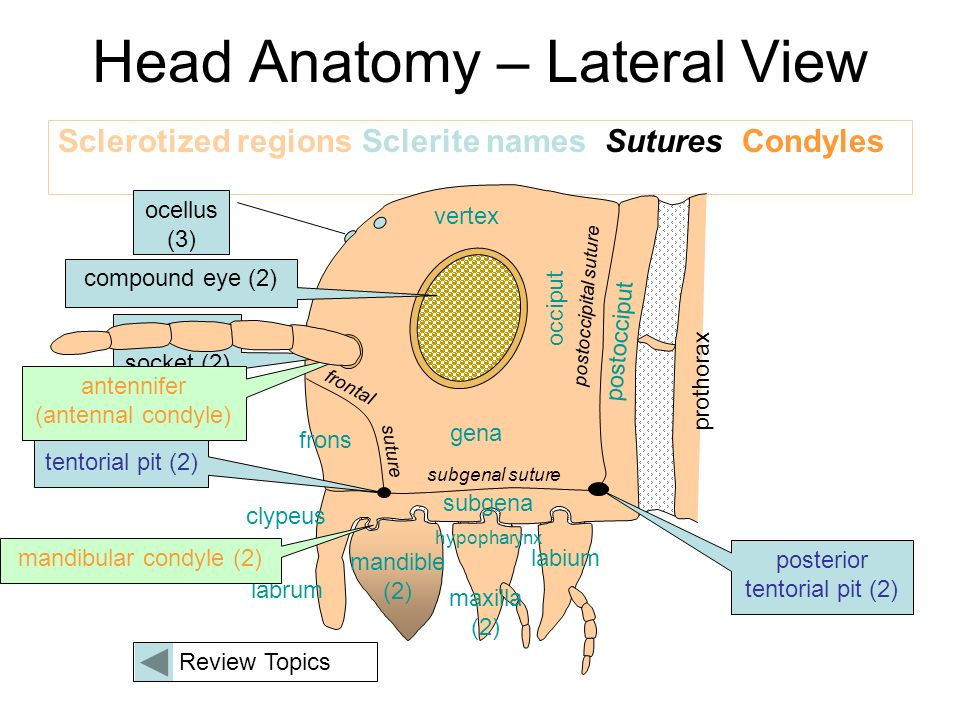 Review for External Anatomy of the Insect Head - ppt video online ...