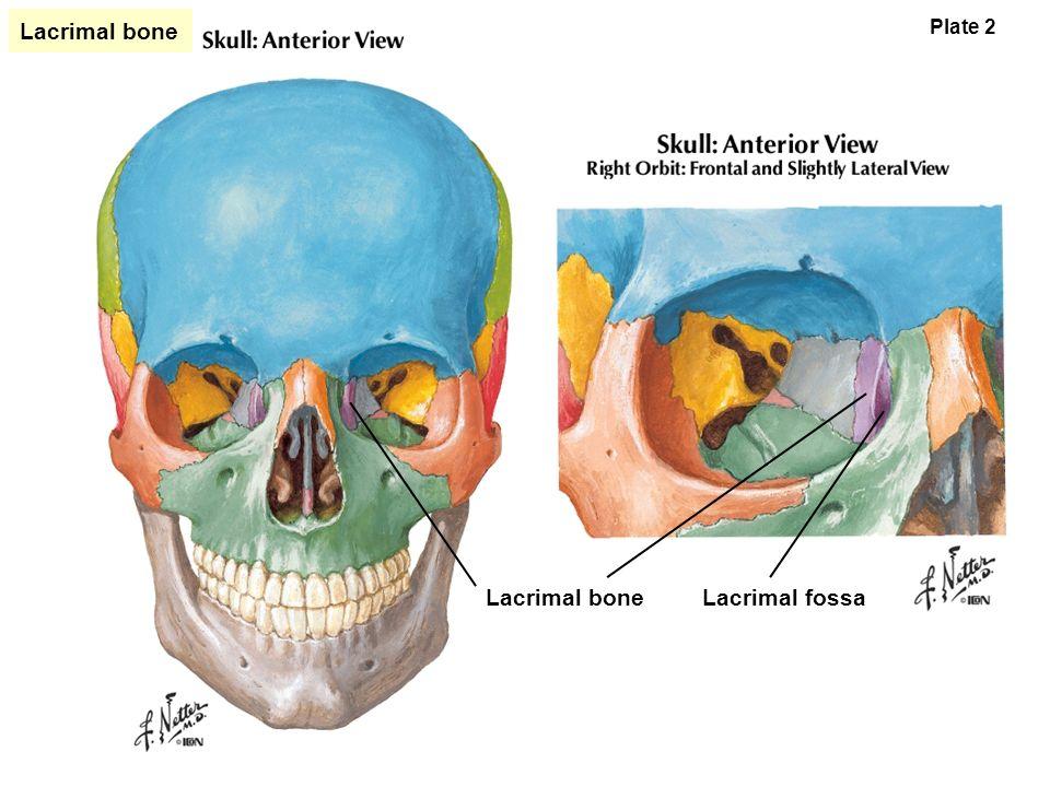 Bones of the Skull. - ppt video online download