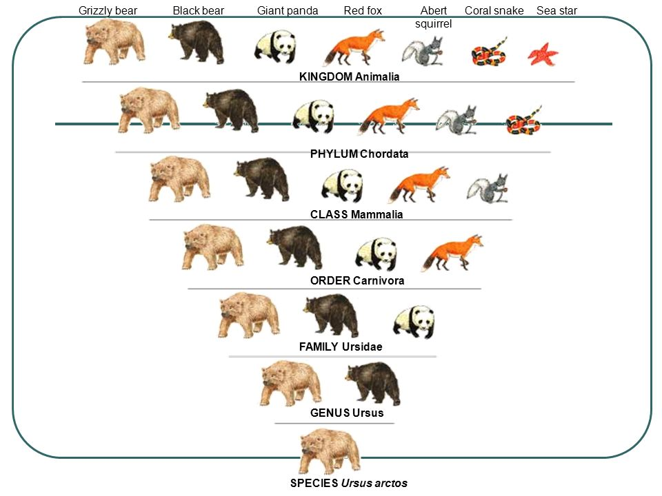 Grizzly bear Black bear. Giant panda. Red fox. Abert squirrel. Coral snake. Sea star. KINGDOM Animalia.