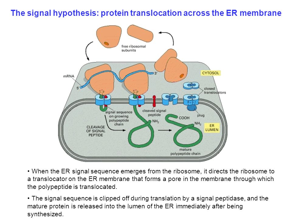 The+signal+hypothesis%3A+protein+translocation+across+the+ER+membrane mb 207 molecular cell biology ppt video online download