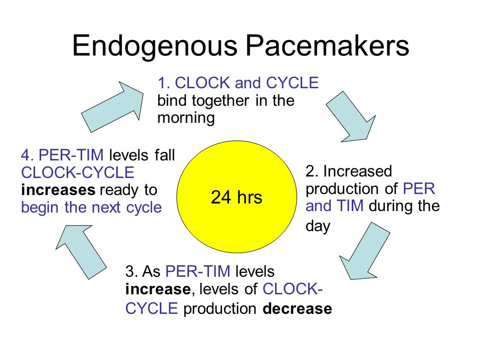 endogenous pacemakers essay