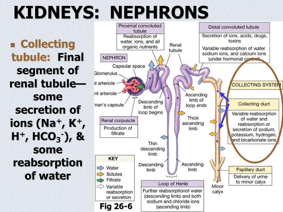 Anatomy Of The Urinary System Ppt Video Online Download