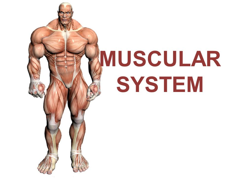 MUSCULAR SYSTEM. - ppt download