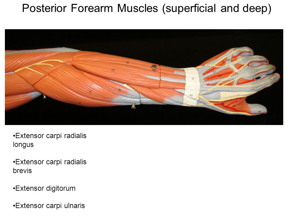 Gross Anatomy Of The Muscular System Arm And Leg Muscles Ppt Video