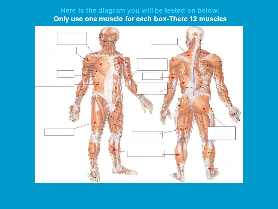 The 12 Major Muscles Youll Need To Know Ppt Download
