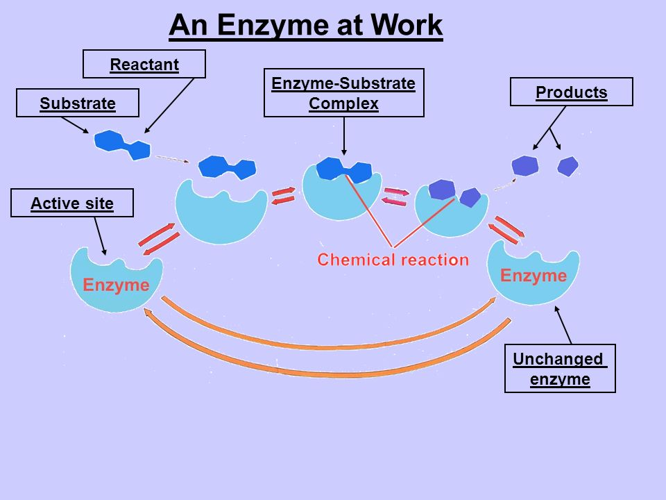 An Enzyme at Work Reactant Enzyme-Substrate Complex Products Substrate