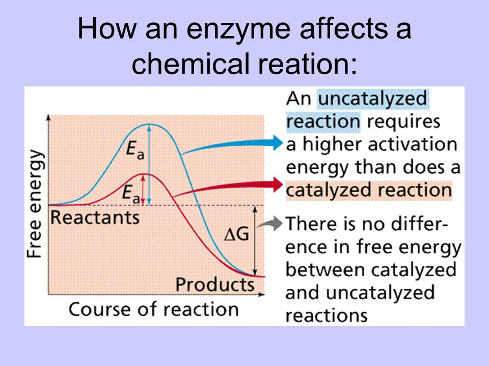 How an enzyme affects a chemical reation: