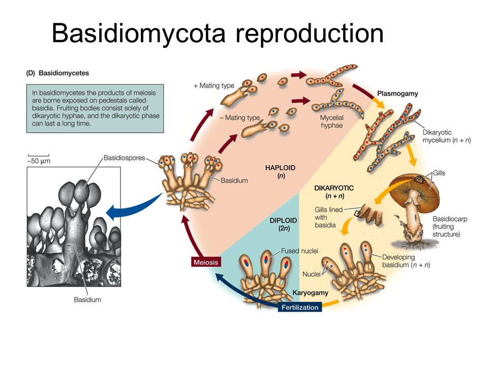 Glomeromycota asexual reproduction video