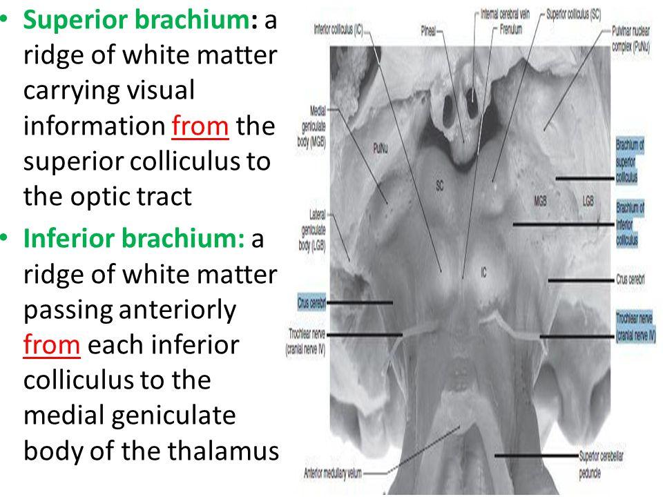 Brainstem 3 Midbrain Dr Rania Gabr. - ppt download