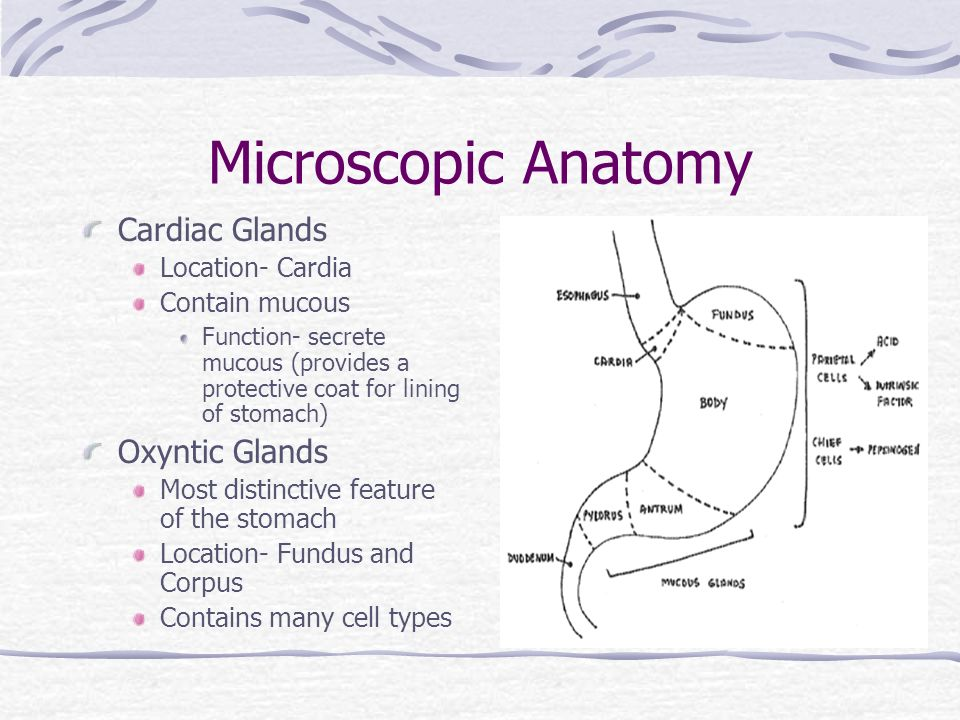 Gastric Anatomy & Physiology - ppt video online download