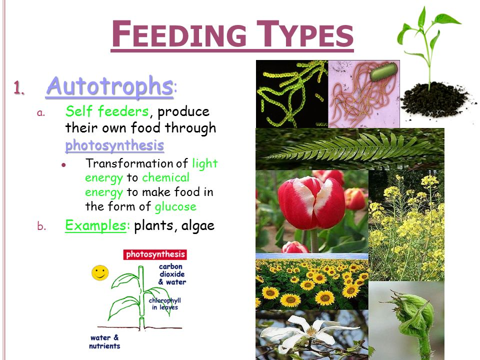 Feeding Types Autotrophs