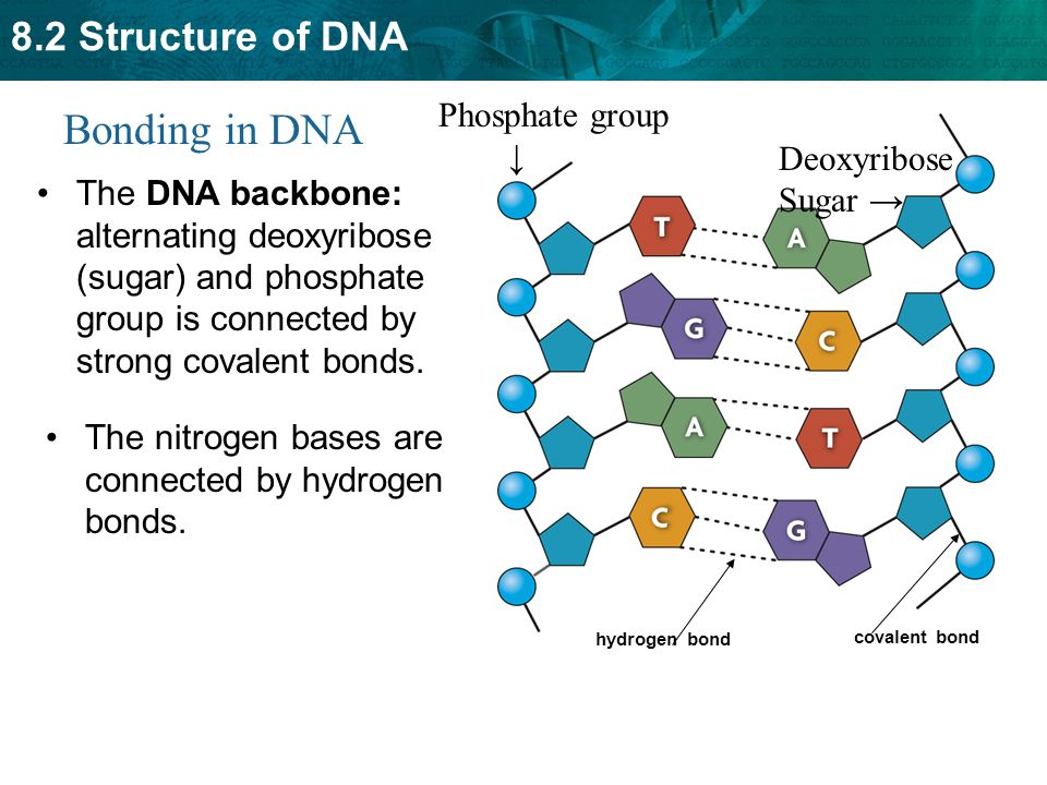 Key concept dna structure is the same in all organisms ppt video bonding in dna phosphate group deoxyribose sugar ccuart Images