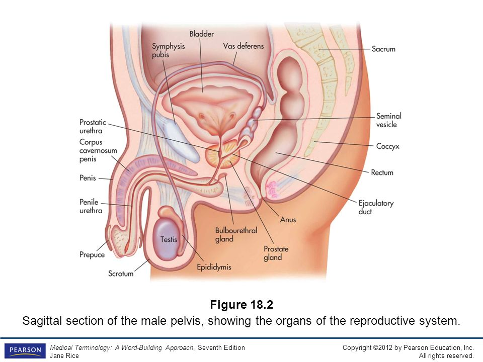 Amazing Anatomy And Physiology Of Male Reproductive System Ppt Image