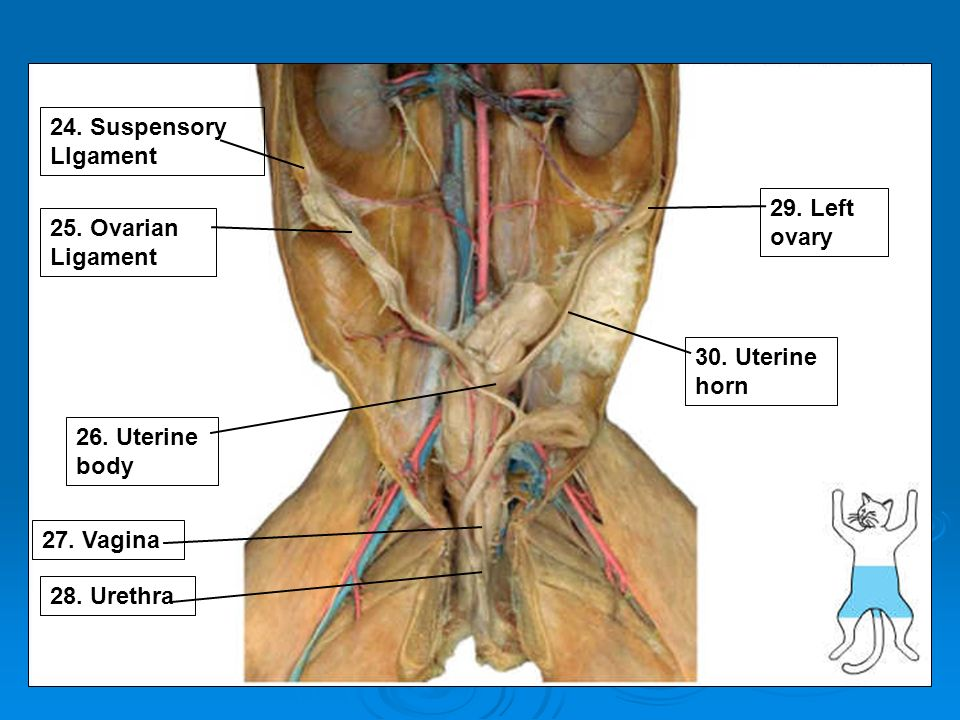 Awesome Ligament Of Uterus Anatomy Model - Anatomy And Physiology ...