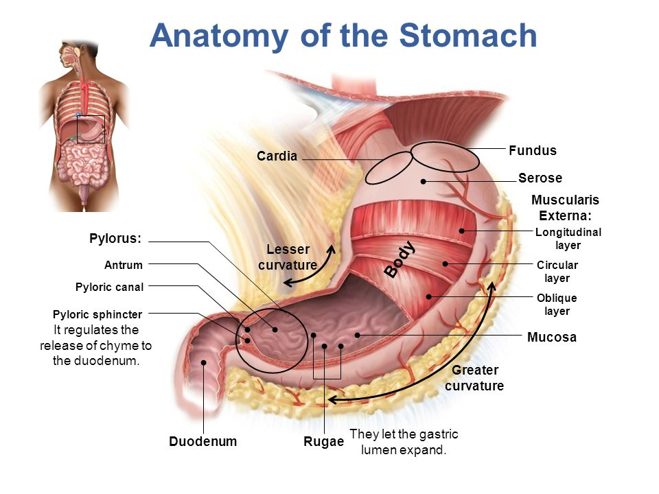 Lesson 16 The Digestive System 2 Chapter 24 Objectives Ppt
