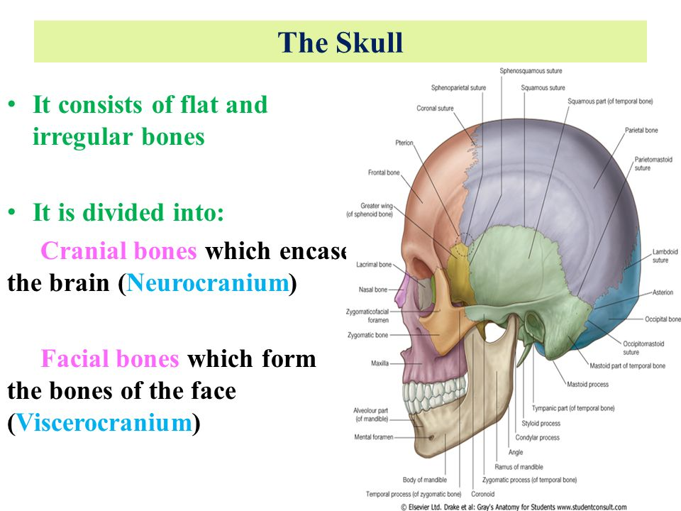 Anatomy Of The Skull Dr Rania Gabr Ppt Video Online Download