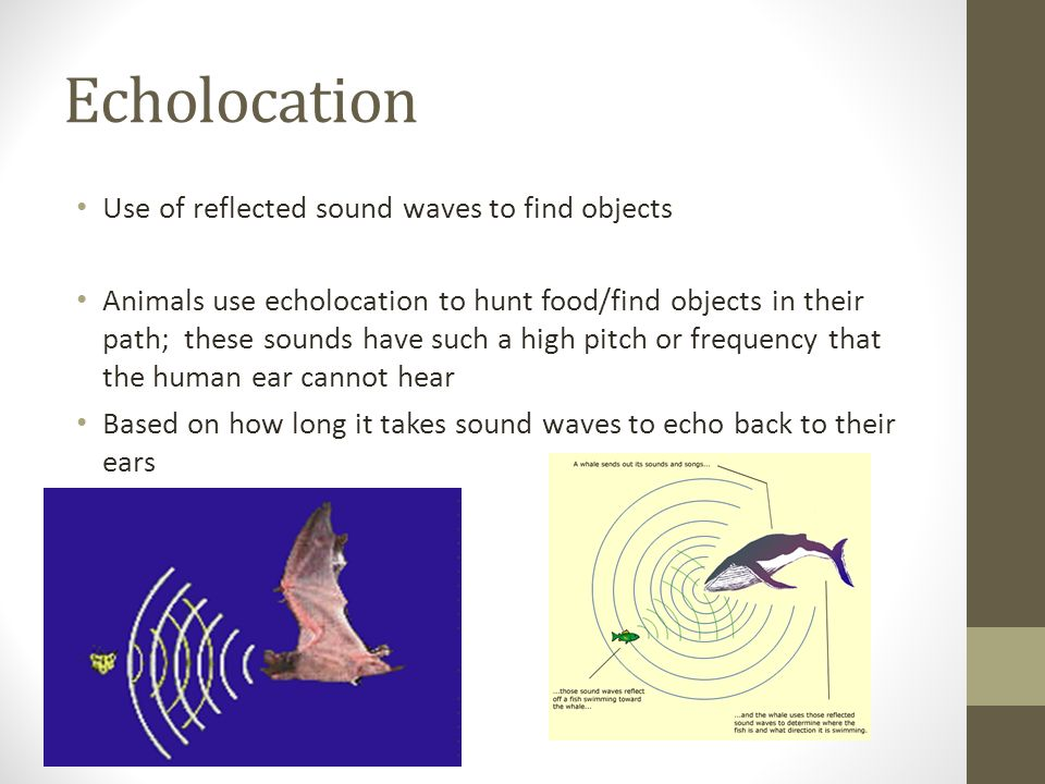 Echolocation Use of reflected sound waves to find objects