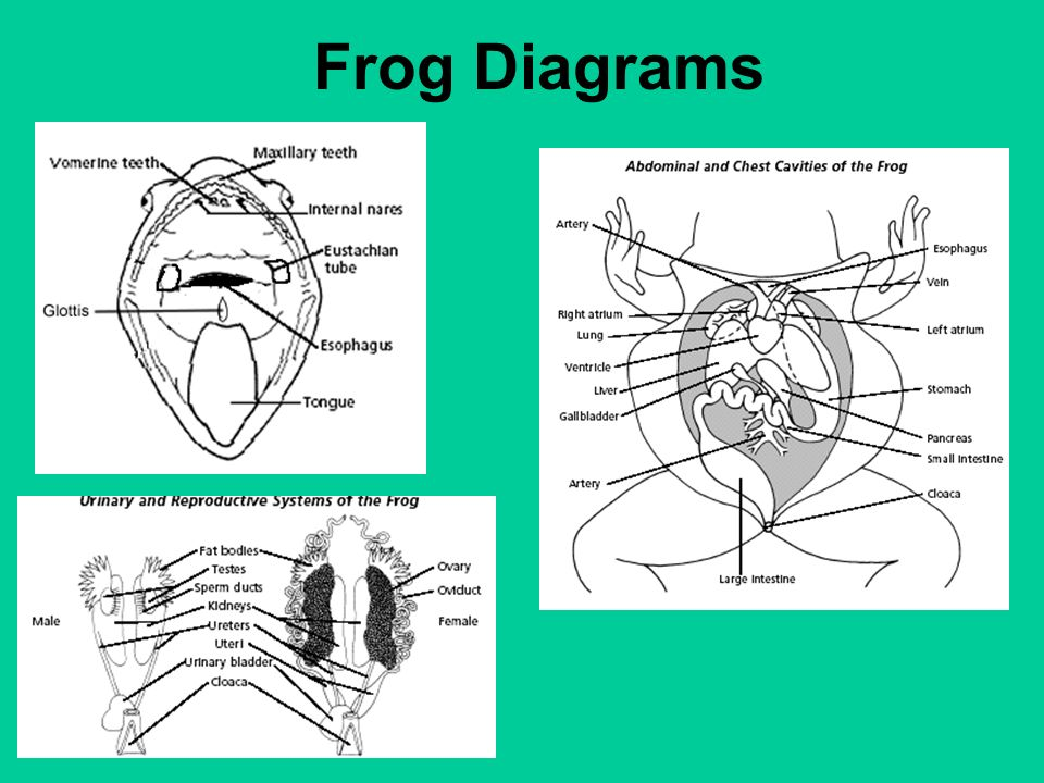 which is a frog which is a toad ppt video online download rh slideplayer com Frog Organ Diagram Frog Digestive System