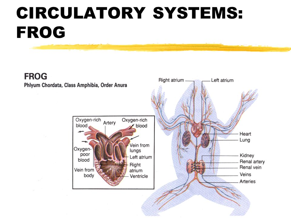 comparing vertebrate body systems ppt video online download frog  integumentary diagram 20 vertebrate circulatory systems frog