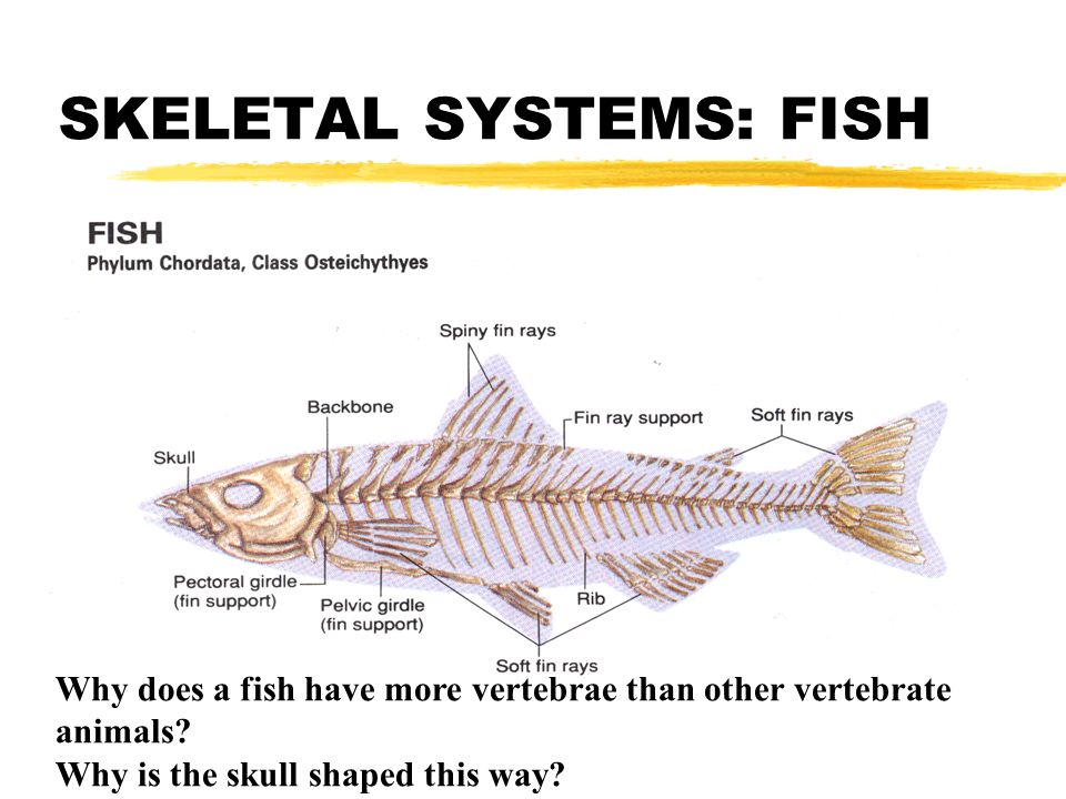 COMPARING VERTEBRATE BODY SYSTEMS - ppt video online download