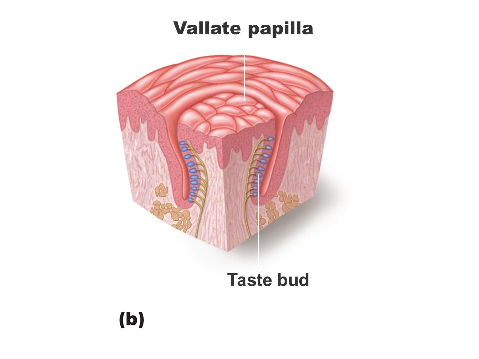 Funky Vallate Papillae Swollen Adornment - Human Anatomy Images ...
