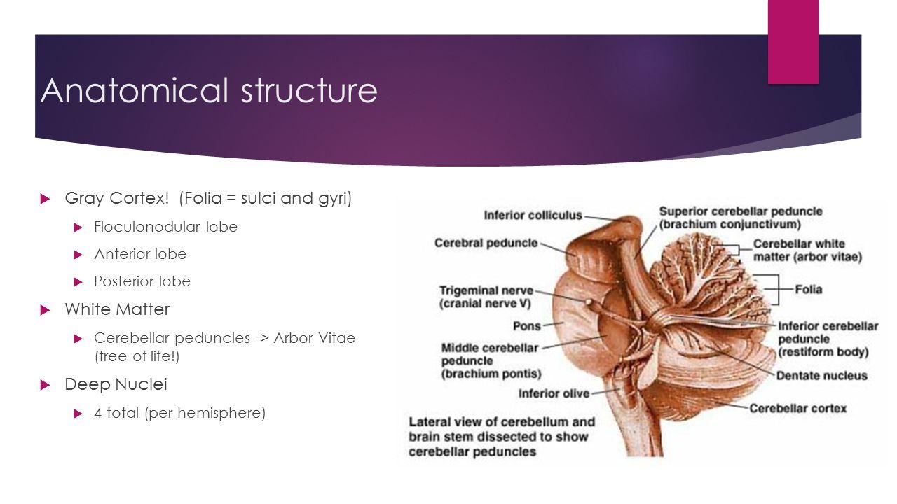 Cerebellum Anatomy Ppt Images - human body anatomy