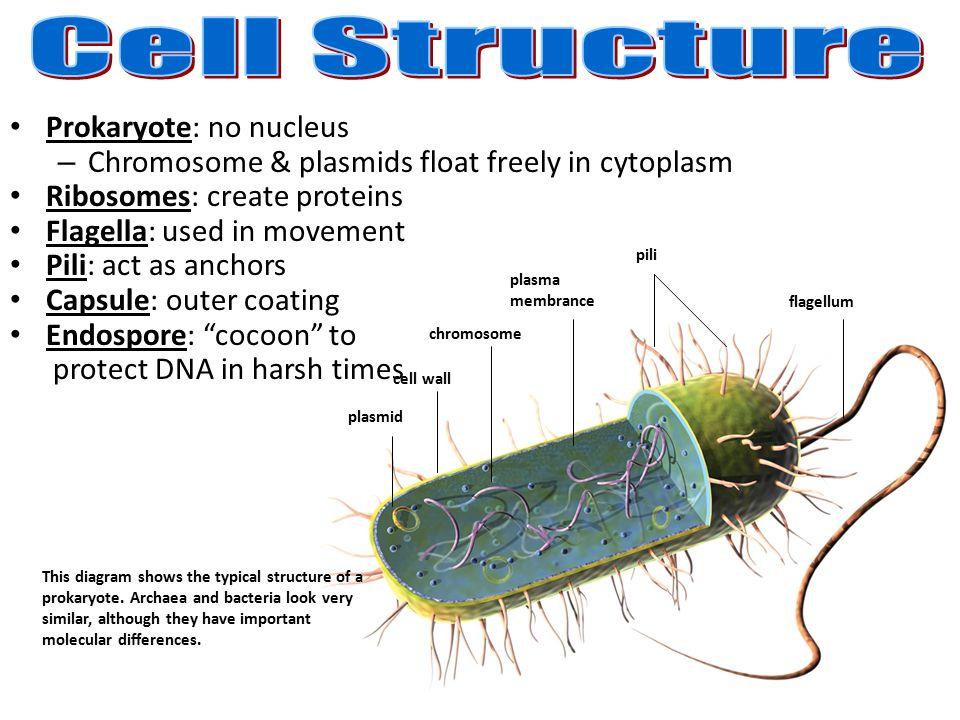 Cell Structure Prokaryote A No Nucleus