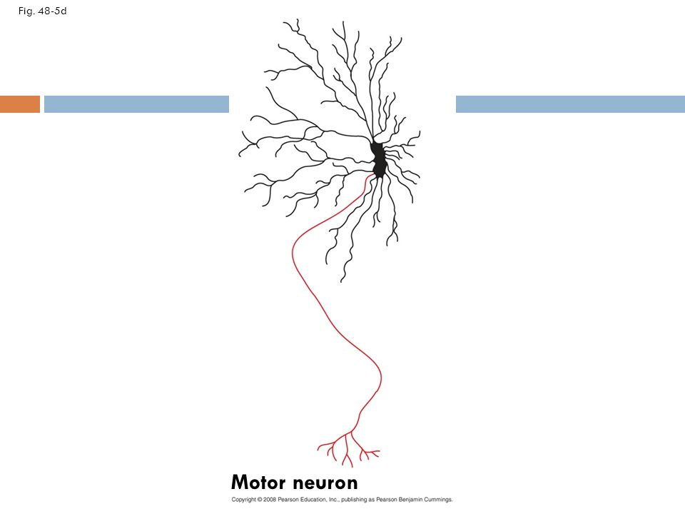 Blank vertebrate neuron diagram complete wiring diagrams neuron organization and structure reflect function in information rh slideplayer com blank heart diagram neuron cell ccuart Image collections