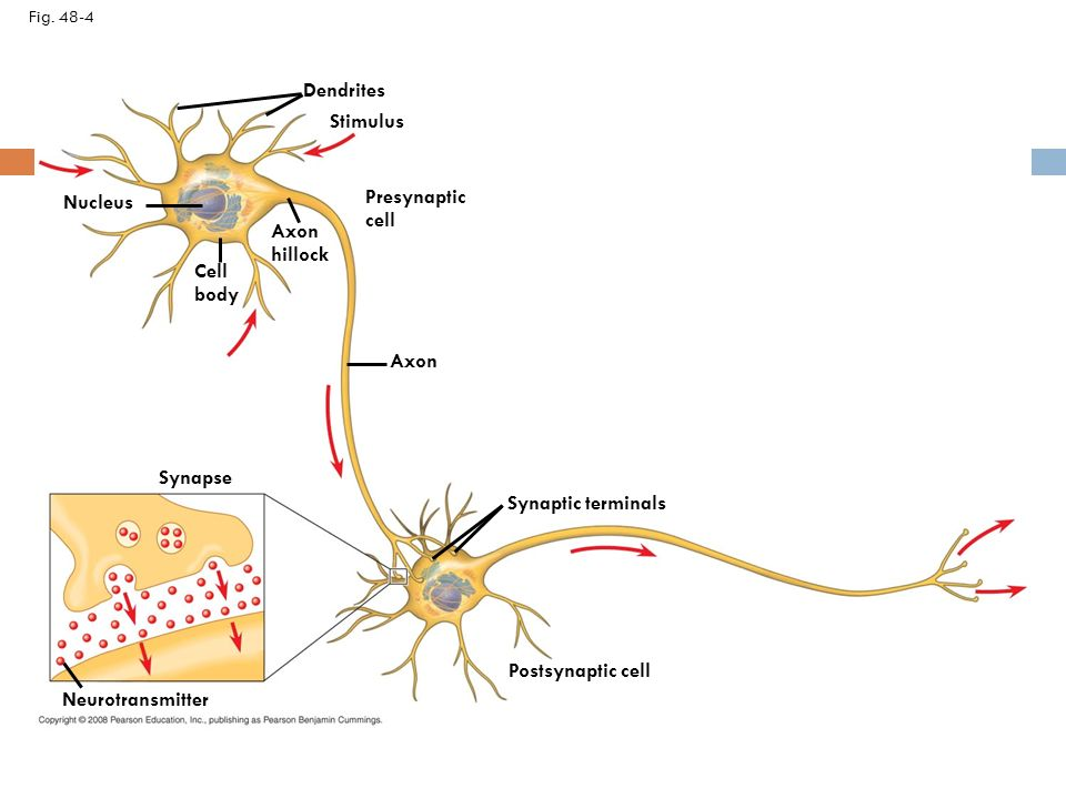 Neuron organization and structure reflect function in information 6 dendrites ccuart Gallery